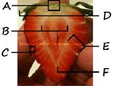 Labeled Strawberry Cross Section