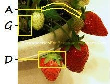 Strawberry Plant Fruit to Crown
